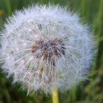 Der ersten Pusteblumen holt der Wind