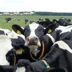 Neugierige Milchkühe
