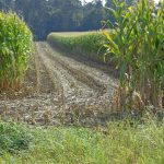 Schneisen im Mais