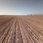 Erste Zuckerrübensaat im Feld